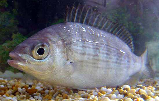 Black Sea-Bream  (Photograph by Bob Alexander, Weymouth)