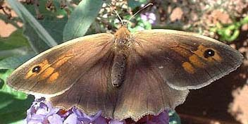 Meadow Brown Butterfly (Photograph by Ray Hamblett)