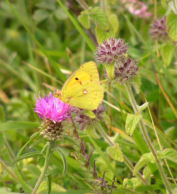 Clouded Yellow (Photograph by Brenda Collins)