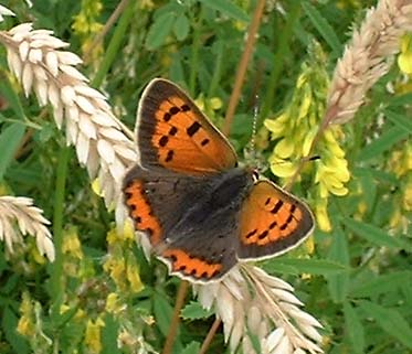 Small Copper Butterfly (Photograph by Ray Hamblett)