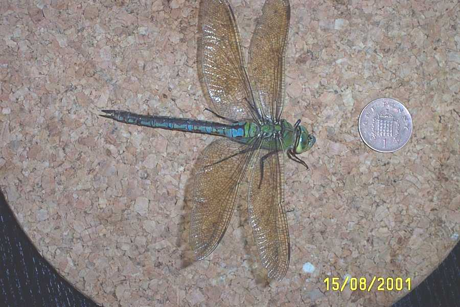 Emperor Dragonfly from Shoreham (Photograph by Pete Weaver)