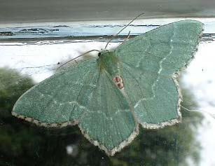 Common Emerald Moth (Photograph by Ray Hamblett)