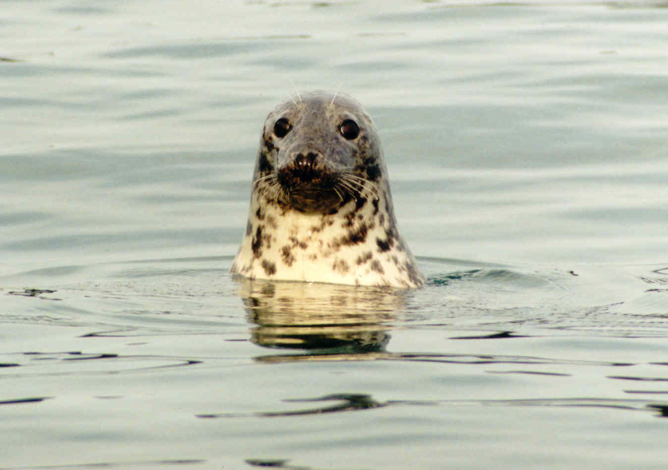 Grey Seal (Photograph by Kevin Robinson, CRRU)