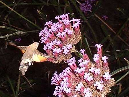 Hummingbird Hawk-moth (Photograph by Ray Hamblett)