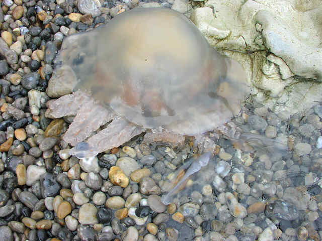Rhizostoma Jellyfish washed at Beer, Devon on 7 May 2002 (Photograph by Ceri Jones)