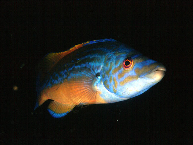 Wrasse found in British seas M-cuckoo-wrasse