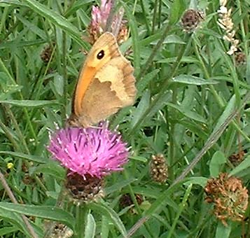 Meadow Brown Butterfly on Hardhead (Photograph by Ray Hamblett)