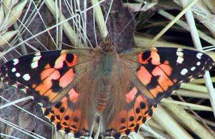 Painted Lady (Photograph by Allen Pollard)