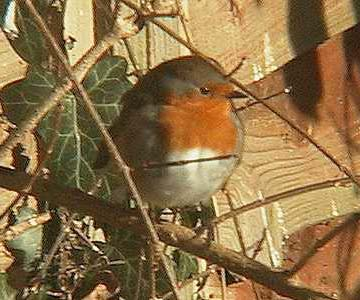 Robin (Photograph by Allen Pollard at Shermanbury)