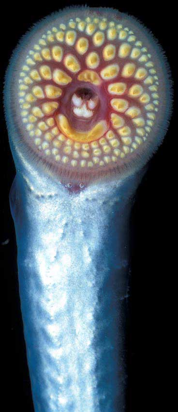 Sea Lamprey  �  Richard Lord