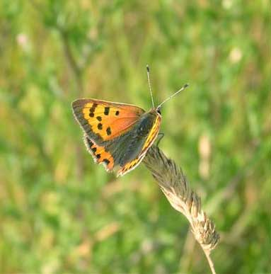 Small Copper Butterfly photographed on a Lancing Ring meadow by Brenda Collins