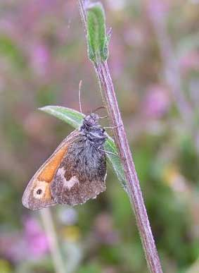 Small Heath from Lancing Clump meadows in August 2004 (Photograph by Brenda Collins)