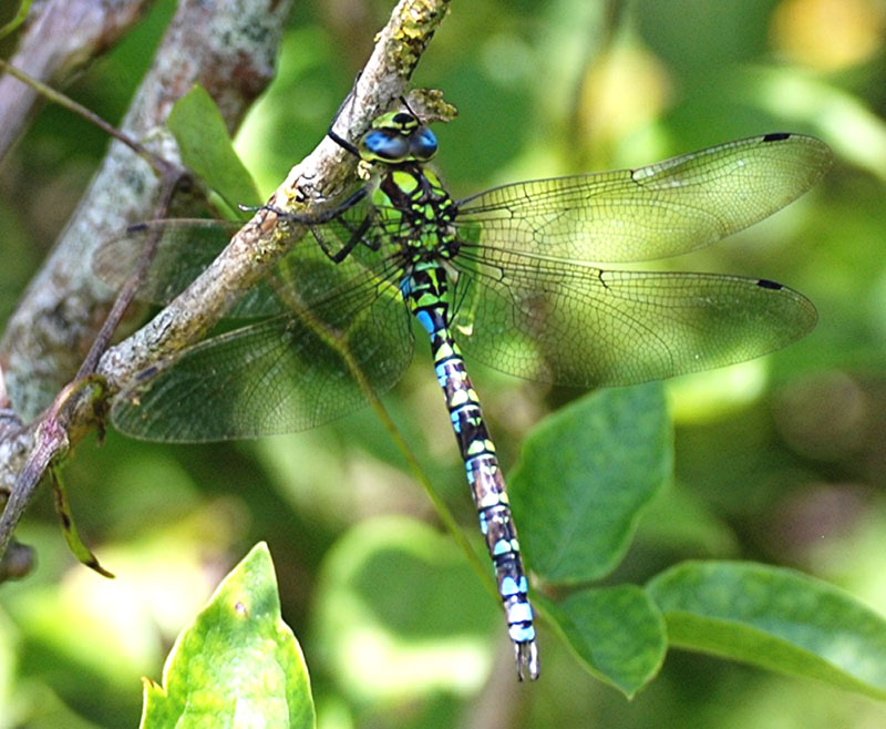 Southern Hawker                    on Mill Hill (Photograph by Alec Trusler)