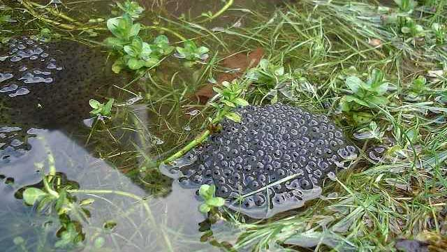 Frog Spawn (Photograph by Ray Hamblett)