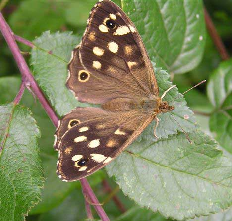Speckled Wood (Photograph by Brenda Collins)