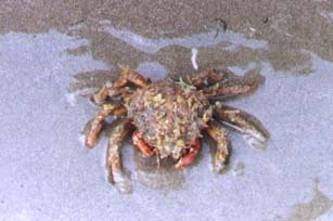 Spider Crab on Shoreham beach (Photograph by Andy Horton)