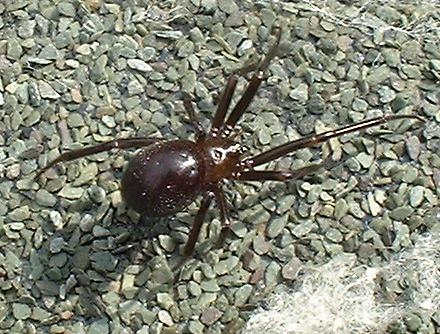 Steatoda sp. Spider (Photograph by Ray Hamblett)