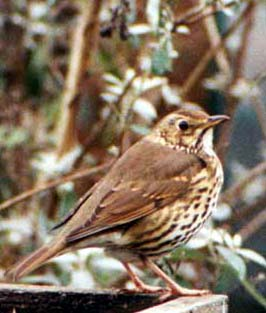 Song Thrush (Photograph by Ray Hamblett)