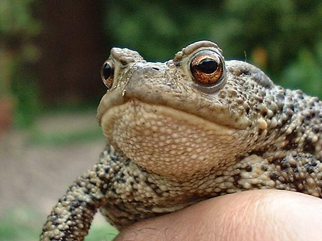 Toad (Photograph by Ray Hamblett)