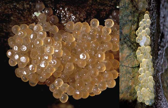 Fish Eggs:  Photograph  ©  Richard Lord