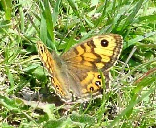 Wall Brown Butterfly (Photograph by Ray Hamblett)