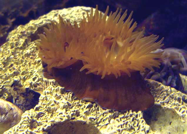 Double-headed Beadlet Anemone