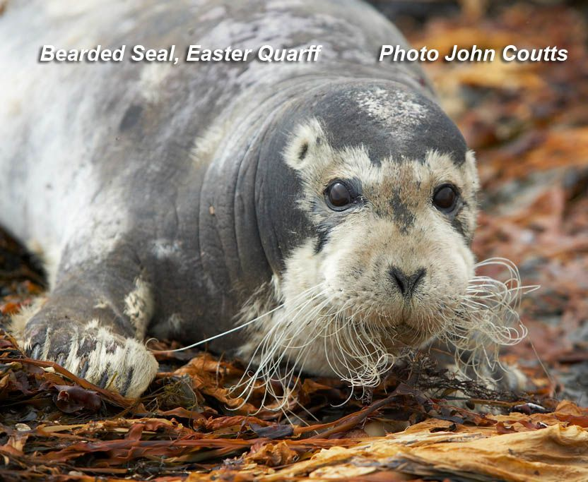 Bearded Seal (Photograph by John Coutts)