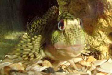 rock pool fish ne atlantic british intertidal bmlss information