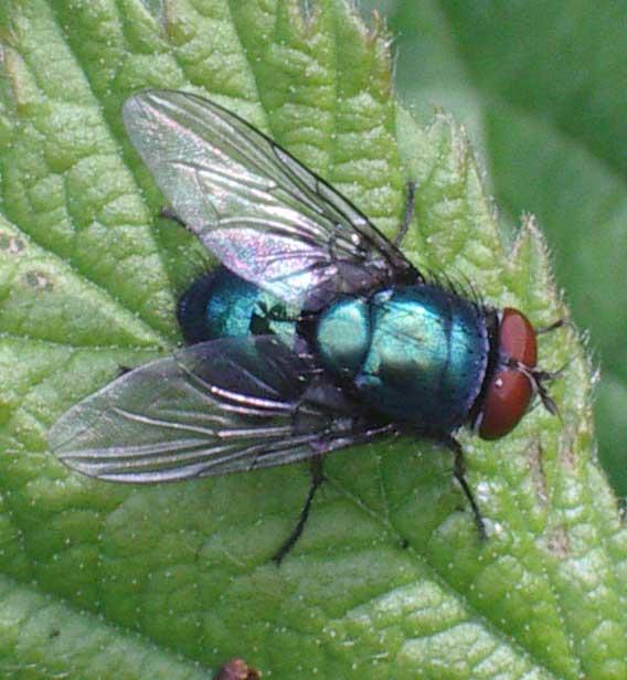 Blowfly Flies of the lower Adu...