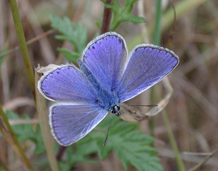 Common Blue Butterfly (Photograph by Andy Horton)