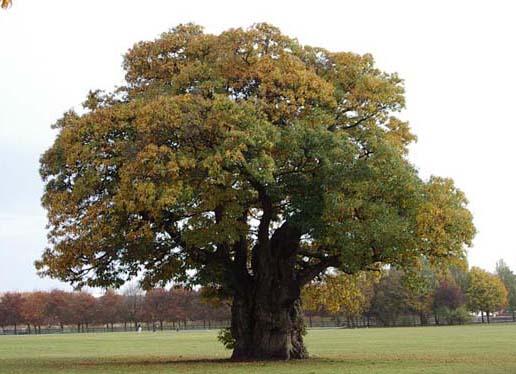 Chestnut Trees Buckingham Park