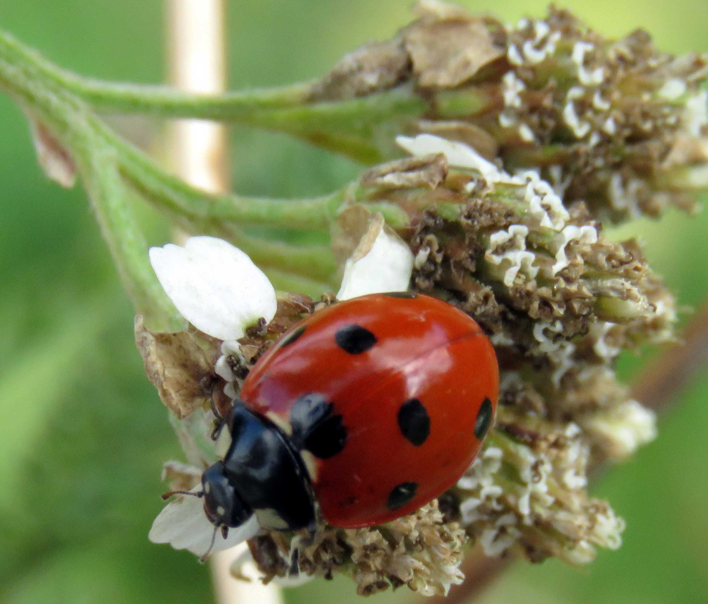 2 October 2016 7 Spot Ladybird Coccinella Septempunctata On Yarrow The Downs Link Cyclepath At Old Shoreham Its Own