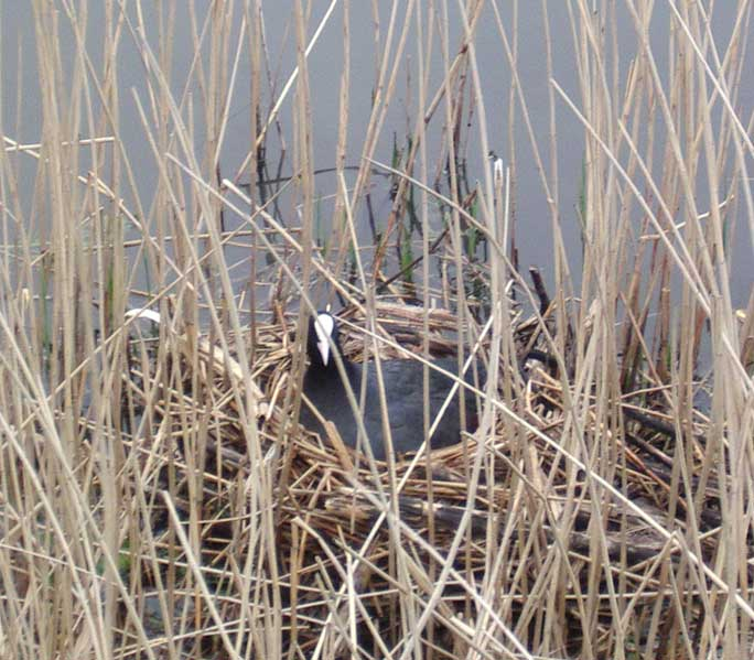 Coot on its nest near the miniature railway station