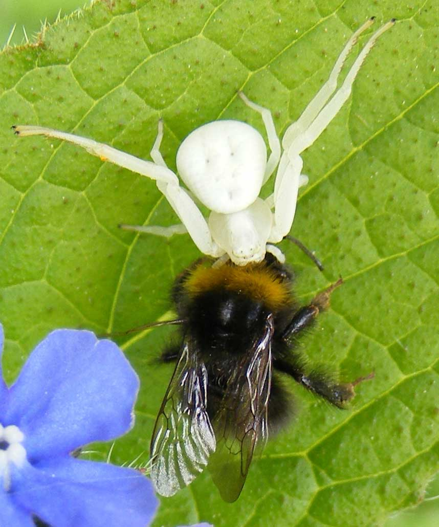 Crab spider preying bumble bee garden spiders spiders flower spiders - Crab Spider Preying Bumble Bee Garden Spiders Spiders Flower Spiders 8