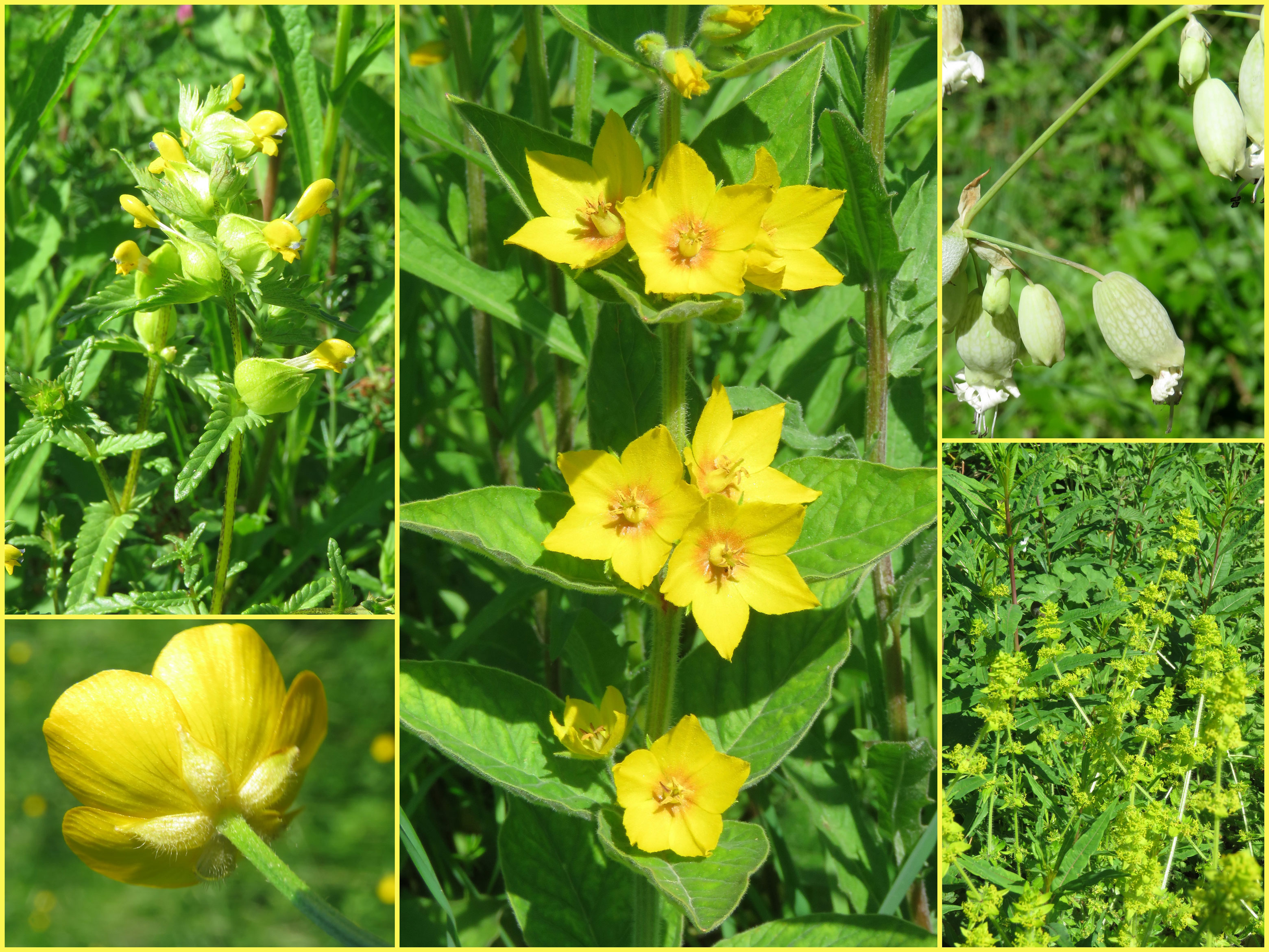 Adur wild flowers 2017 yellow rattle dotted loosestrife bladder campion buttercup ladys bedstraw downs link cyclepath old shoreham to upper beeding mightylinksfo