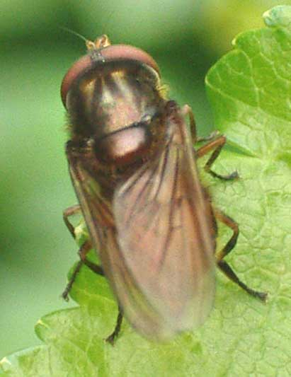 Rhingia campestris (not showing the snout)