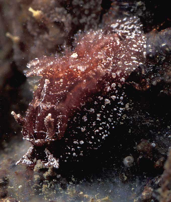 BMLSS  Mollusca  Nudibranchia records 0d61363ae49f