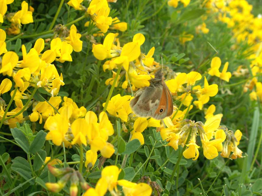 Hippocrepis comosa small heath with horseshoe vetch mightylinksfo