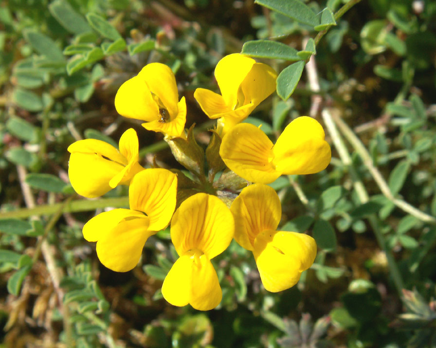 Chalkhill 2008 horseshoe vetch on mill hill mightylinksfo