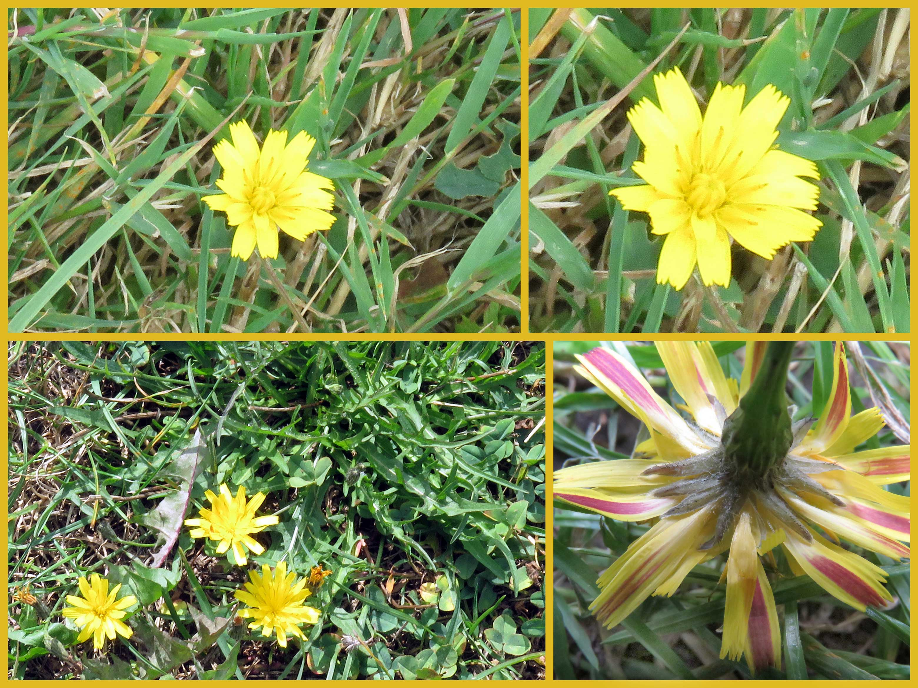 Cichorioid this prostrate plant was seen on a mown verge in gordon road shoreham growing like a dandelion but much smaller this is an autumnal hawkbit mightylinksfo