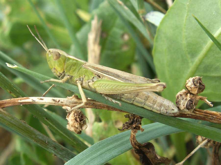 In This Green Grhopper The Distinguishing Mark Of Female Lesser Marsh Chorthippus Albomarginatus Is White Line On Leading Edge