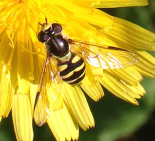 Small hoverfly taken somewhere along the path