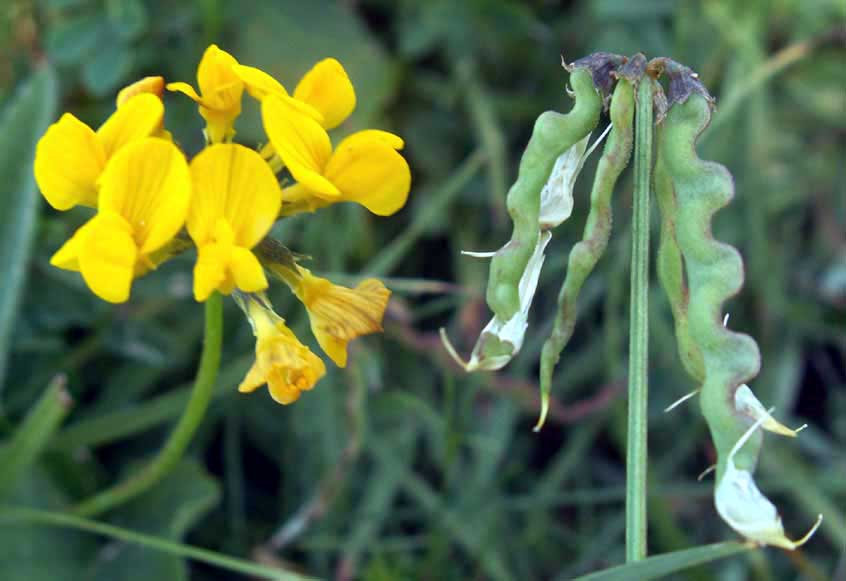 Horseshoe Vetch with seed pods