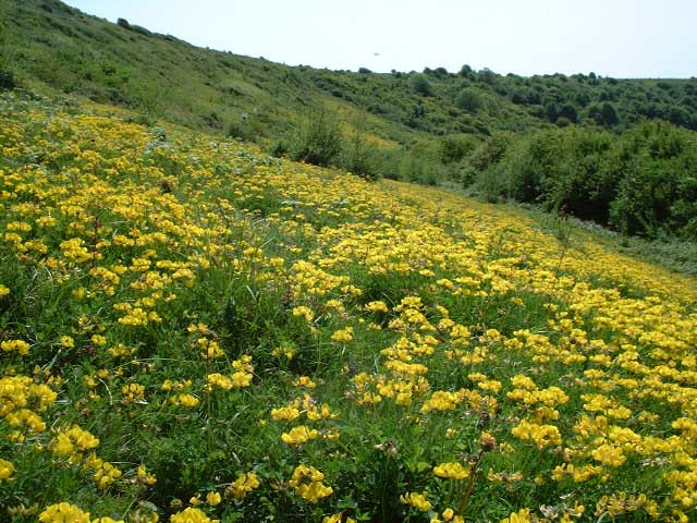 Horseshoe Vetch on Mill Hill (Photograph by Ray Hamblett)