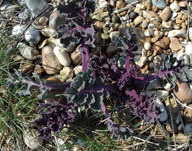 Sea Kale (Photograph by Andy Horton)