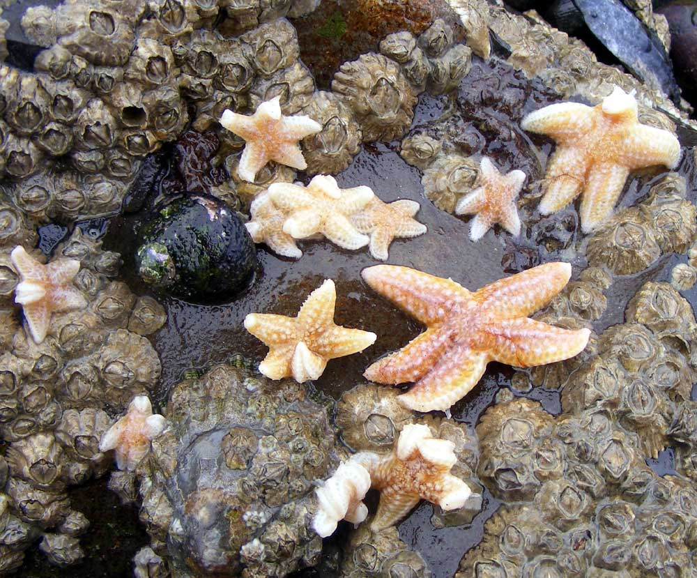 ... mussel collecting visit to Kingston Beach on a low spring tide found  the unprecedented frequent (30+) occurrence of very small Common Starfish  Asterias ... 00a4d431ab4
