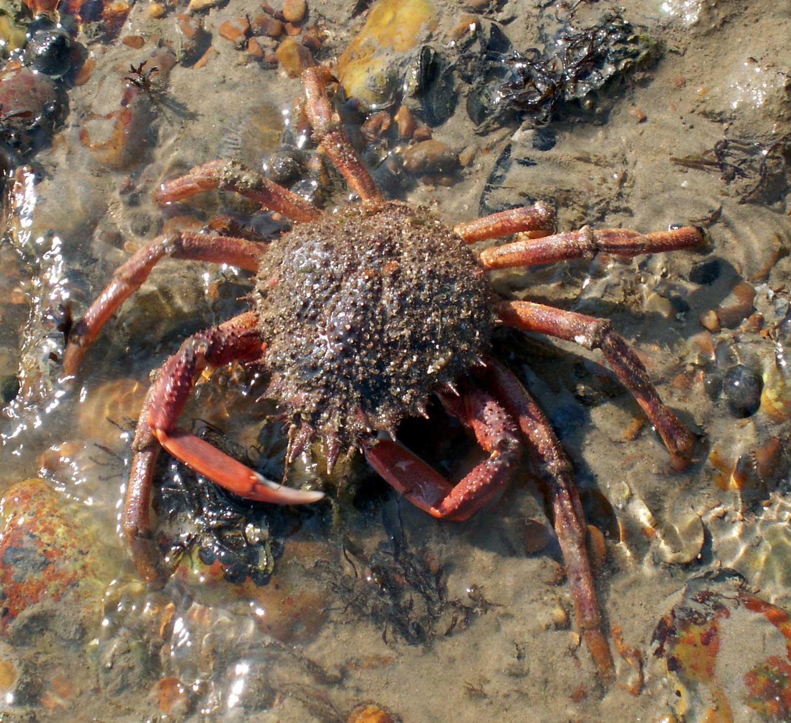 Spiny Spider Crabs Maja Squinado