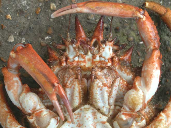 how to get crab meat out of claws