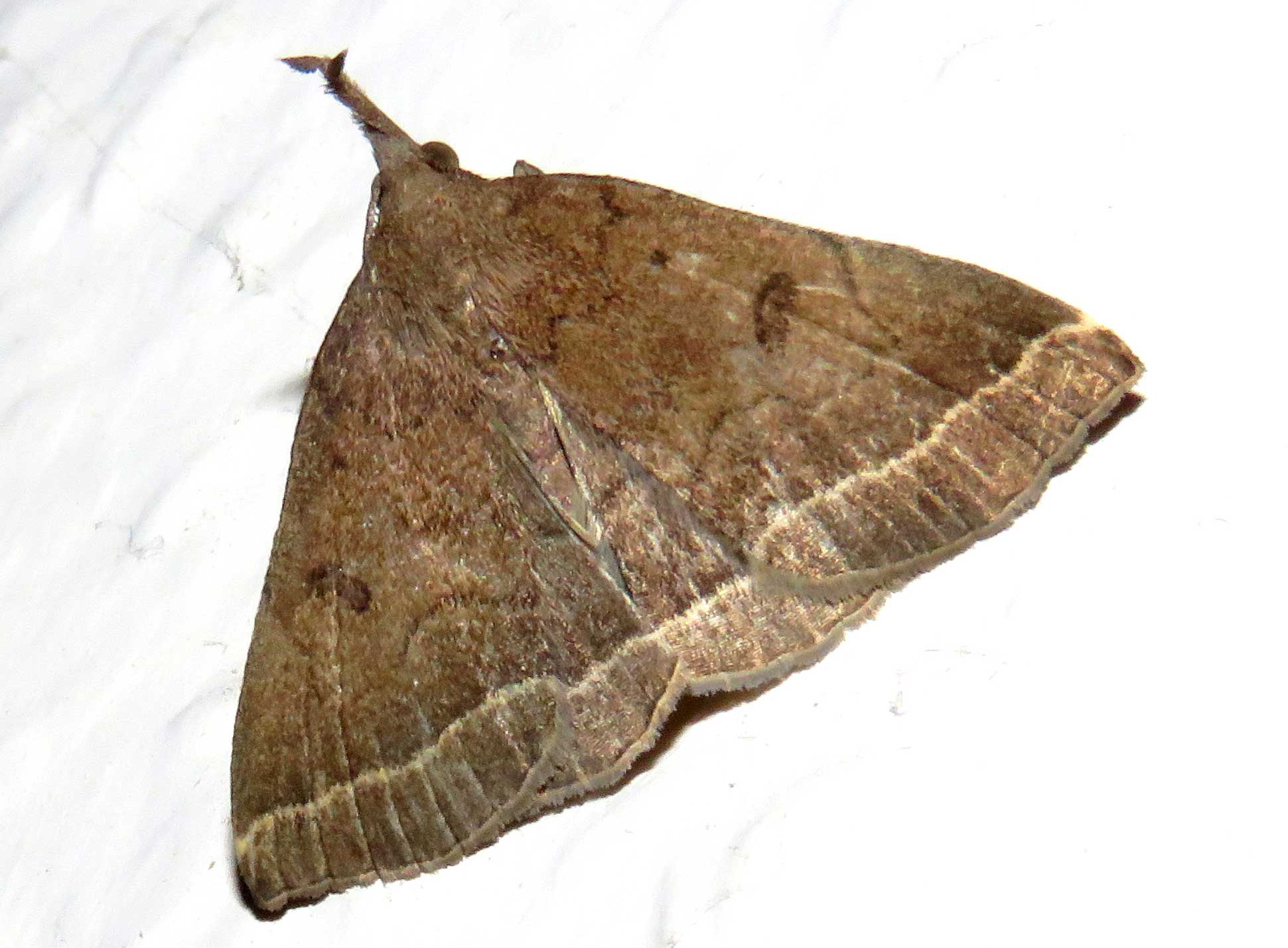Moths of the Adur Valley