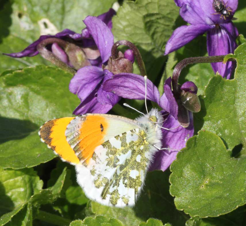 Orange-tip (male) on Sweet Violet